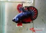 Ikan-cupang_21.jpg
