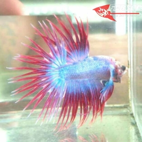 Ikan-cupang_6.jpg