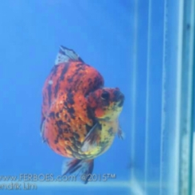 Goldfish competition.jpg