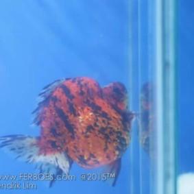 Ikan koki juara_8.jpg