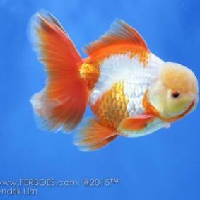Ikan koki kontes_4.jpg