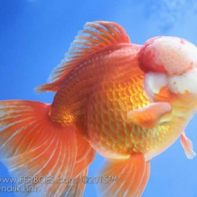 Ikan koki kontes_2.jpg