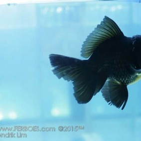 Ikan koki kontes_1.jpg