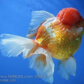 Ikan koki juara_2.jpg