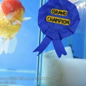 Ikan koki juara_1.jpg
