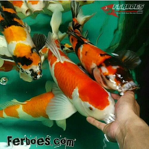 Ikan Pemakan Kutu Untuk Kolam Koi Ferboes Com