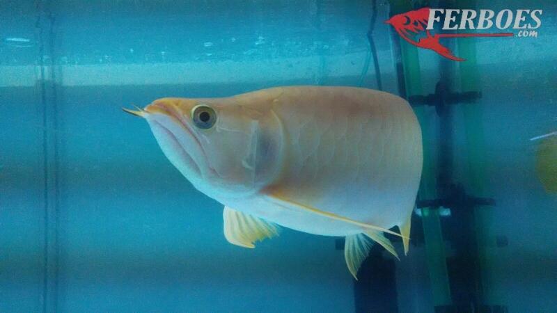 Arwana albino_4.jpg