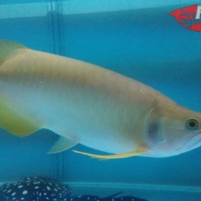 Arwana albino_3.jpg