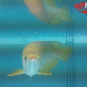 Arwana albino_2.jpg