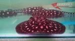 Ikan pari air tawar_2